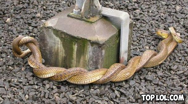 Un couple de serpent fait l'amour (censuré)